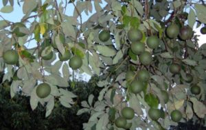 persea_americana_fruits-resized